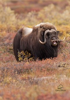 Musk Ox in Fall Tundra, Alaska | Male Musk Ox calling out hi… | Flickr