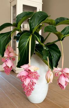 30 pz/pacco Bonsai Medinilla magnifica semi per casa giardino Unusual Plants, Exotic Plants, Exotic Flowers, Beautiful Flowers, Hanging Orchid, Hanging Plants, Outdoor Plants, Garden Plants, Flowering Plants