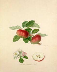 William Hooker -- The Red Quarenden Apple -- William Hooker -- Artists -- RHS Prints
