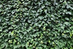9 Different Types of Ivy (Pictures + Facts) | Trees.com Types Of Ivy, English Ivy Plant, Boston Ivy, Garden Retaining Wall, Ivy Wall, Evergreen Vines, Ivy Plants, Best Indoor Plants, Different Types