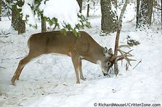 Whitetail Deer, Odocoileus virginianus, White-tailed Deer, Hunting, Trophy, Buck, 12 Point, 10 Point, 8 Point, Grunt, Calling, Rubbing, Rub, Alarmed, Tail Up, Doe, State Mammal, State Animal, Big Game
