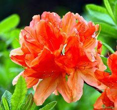 """Tangerine Delight Deciduous Exbury Azalea - Very Hardy/Fragrant - 4"""""""" Pot"""