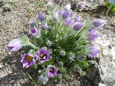 Pulsatilla vulgaris 'Pasque flower'