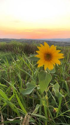 Beautiful Romania Sunflowers, Romania, Encouragement, Sunset, Videos, Floral, Nature, Beautiful, End Of Year