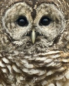 Closeup of a Barred Owl — We have a pair who live in our woods. They make the craziest sounds, often sounding like monkeys!