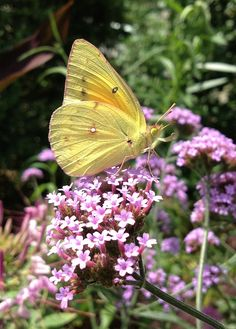 Cabbage White in the Butterfly Garden | by Flickr user AsiVivo