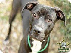 Tavares, FL - Pit Bull Terrier/Rhodesian Ridgeback Mix. Meet ARWAN, a dog for adoption. http://www.adoptapet.com/pet/12406430-tavares-florida-pit-bull-terrier-mix