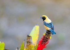 A good-natured bird - 'Saíra-amarela' (in Portuguese), scientifically called Tangara cayana