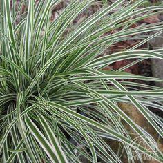 Carex evercream