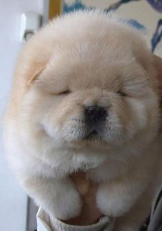 17 puppies that look like teddy bears. Oh man.....CUTE.