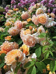English rose: 'Grace'