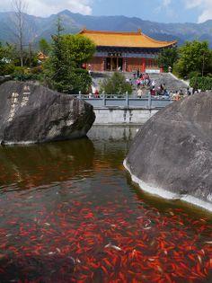 Goldfish, Chongsheng Temple, Dali, China