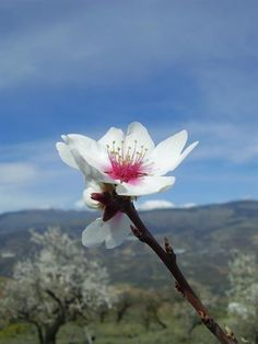 En los meses de enero y febrero se produce la esperada floración del almendro. Quédate con estas bellas imágenes de los almendros en flor en España