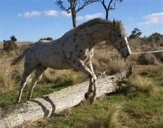 appaloosa horses - - Yahoo Image Search Results