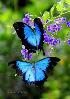 Blue butterflies ....saw in Ecuador beautiful