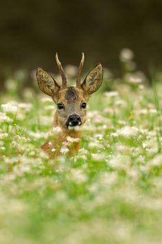 Roe deer portrait by René Visser