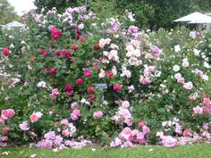 The Huntington Library, San Marino, CA - when the Roses are blooming and overflowing with beautiful colors and fragrances