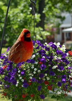 What can you do to keep birds from nesting in hanging baskets? Click back to the article for tips. Pretty Birds, Love Birds, Beautiful Birds, Beautiful Images, Hanging Baskets, Hanging Plants, State Birds, Cardinal Birds, Bird Tree