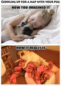 Cuddling with pugs. Unless it is a time the pug wants to cuddle. Funny Dogs, Funny Animals, Cute Animals, Raza Pug, Cute Puppies, Cute Dogs, Black Pug Puppies, Josie Loves, Pug Dogs