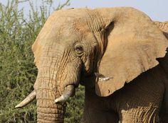 Bull Elephant walking through the bush at Sosian, Laikipia.