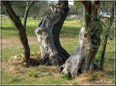 Les oliviers de Provence... http://mistoulinetmistouline.eklablog.com/