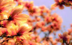 Magnolia Flower Wallpaper Wide