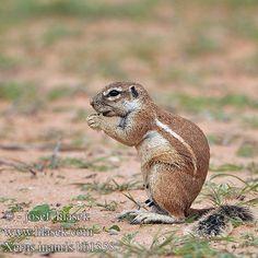 Cape Ground Squirrel Xerus inauris Ground Squirrel, Animal Alphabet, Cape, Animals, Animais, Cabo, Animales, Animaux, Capes