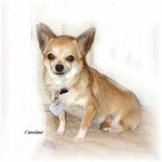 TOLEDO, OHIO.>>CAROLINE is an adoptable Chihuahua Dog in Toledo, OH. DOB: 6/1/2006 My name is Caroline. I was a breeder in a puppymill. I am timid but I dont bite. I am little too. I have been spayed, all my shots ...
