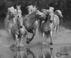 Camargue Horses by Peter Oak on 500px