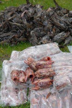 Een deel van de naar ruwe schatting ongeveer 21.000 doodgeknepen spreeuwen. Spreeuwenvanger werd veroordeeld.