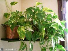 Le Pothos, une plante d'intérieur facile à vivre, utile pour diminuer la pollution…