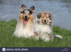 dog-rough-collie-scottish-collie-adult-and-puppy-sable-and-blue-merle-D1WE7A.jpg (1300×956)