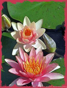 Waterlillies- alternate birth flower
