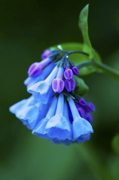 virginia bluebell- love this spring bloomer Beautiful Flowers Garden, Unusual Flowers, Unusual Plants, Love Garden, May Flowers, Blooming Flowers, Amazing Flowers, Blue Flowers, Pretty Flowers