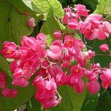 Tanaman Air Mata Pengantin (Coral Vine) Pink
