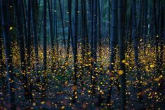 ***Fireflies in a Bamboo Forest (Japan) by Nomiyama Kei