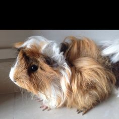 Long haired guinea-pigs are adorable! Animals And Pets, Funny Animals, Cute Animals, Cute Creatures, Beautiful Creatures, Guniea Pig, Baby Guinea Pigs, Cute Piggies, Baboon