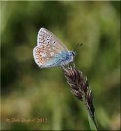 Common Blue Butterfly (The Marshes, Lydney)
