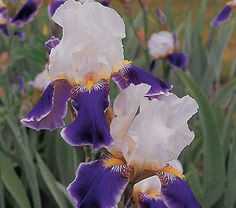 A look of tailored elegance is the gift this heirloom Iris brings to the bed or border. 'Wabash' was first introduced in 1936 and became a favorite Bearded Iris of the 1940s and '50s.