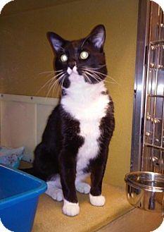 Buena Park, CA - Domestic Shorthair. Meet Iverson, a cat for adoption. http://www.adoptapet.com/pet/12726041-buena-park-california-cat
