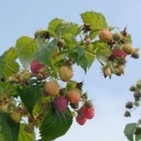 Himbo Top® Primocane Red Raspberry - Raspberry Plants - Stark Bro's