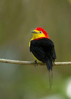 Foto rabo-de-arame (Pipra filicauda) por Ester Ramirez | Wiki Aves - A Enciclopédia das Aves do Brasil