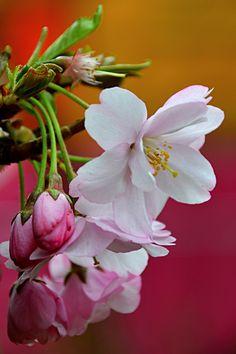 ~~Cherry Blossom by Natasha Easter~~
