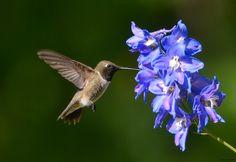Black-chinned Hummingbird + Delphinium