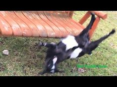 Myotonic goat (Tennessee Fainting Goat) jumps onto the swing, it scares him when it swings, and he faints off of the swing and onto the ground. Animal Funnies, Funny Animals, Fainting Goat, Baby Goats, Epilepsy, In The Tree, Falling Down, Cows, Trauma
