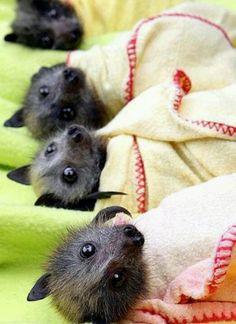 Awe little fruit bats