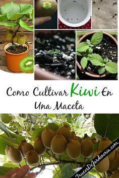 How to grow Kiwi in a pot - Huerta - Obst Fruit Garden, Garden Planters, Vegetable Garden, Kiwi Growing, Growing Plants, Organic Gardening, Gardening Tips, Hobby Farms, Container Plants