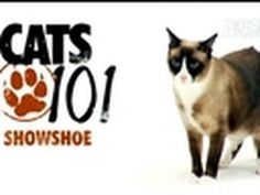Cat Health 101: http://animal.discovery.com/healthy-pets/cat-health-101/#mkcpgn=ytapl1     More Cats 101 Video: http://animal.discovery.com/videos/cat/#mkcpgn=ytapl1  Grumpy Cat = snowshoe siamese
