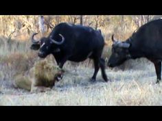 Just a jam packed action video of 3 huge male lions killing a lone male, when the calls of distress from the lone lion attracts a nearby herd of buffalo, thi. Buffalo S, Bad Video, Male Lion, Kruger National Park, Big Cats, Lions, Safari, Wildlife, Africa
