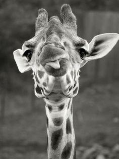 Funny, adorable giraffe! #photography #giraffe #blackandwhite